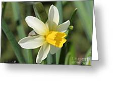 Cyclamineus Daffodil Named Jack Snipe Greeting Card
