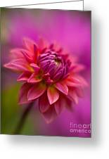 Dahlia Burst Greeting Card