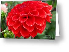 Dahlia Named Ali Oop Greeting Card