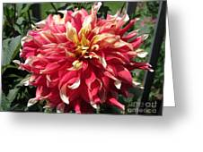 Dahlia Named Bodacious Greeting Card