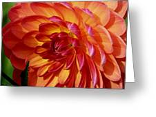 Dahlia Profile Greeting Card