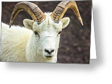 Dall Sheep Greeting Card