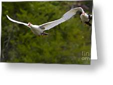 Domestic Muscovy Ducks In Flight   #1137 Greeting Card