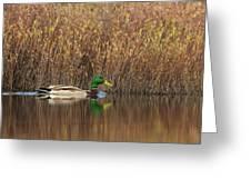 Drake Mallard Greeting Card