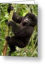 Endangered Mountain Gorillas Habitate Greeting Card