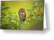Eurasian Scops Owl Greeting Card