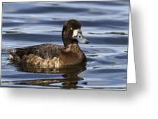 Female Scaup Greeting Card