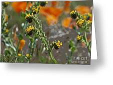Fiddleneck Flowers Greeting Card