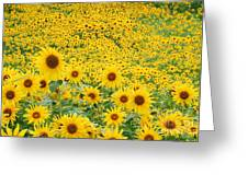 Field Of Sunflowers Helianthus Sp Greeting Card