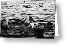 flock of southern giant petrels one showing sealmaster agressive feeding posture in port lockroy Ant Greeting Card