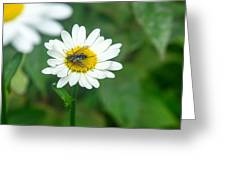 Fly On Daisy 3 Greeting Card