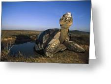 Galapagos Giant Tortoise Wallowing Greeting Card
