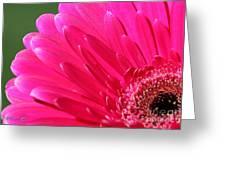 Gerbera Daisy Named Raspberry Picobello Greeting Card