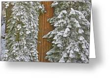 Giant Sequoias And Snow  Greeting Card by Yva Momatiuk John Eastcott