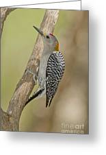 Golden-fronted Woodpecker Greeting Card