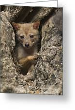 Golden Jackal Canis Aureus Cubs Greeting Card