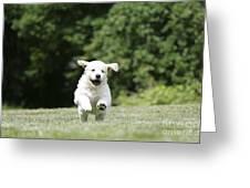 Golden Retriever Puppy Greeting Card by John Daniels