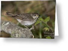 Gray-cheeked Thrush Greeting Card