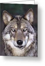 Gray Wolf Portrait Endangered Species Wildlife Rescue Greeting Card