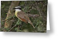 Great Kiskadee Greeting Card