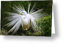 Great White Egret In Breeding Plumage Greeting Card