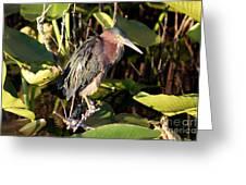 Green Backed Heron Greeting Card