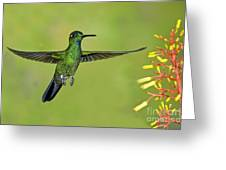 Green-crowned Brilliant Greeting Card