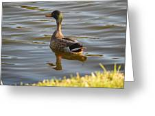 Green Winged Teal Greeting Card