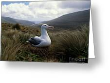 Grey-headed Albatross Greeting Card