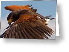Harris Hawk Approach Greeting Card