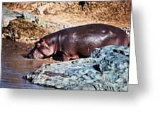 Hippopotamus In River. Serengeti. Tanzania Greeting Card