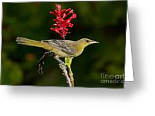 Hooded Oriole Juvenile Greeting Card