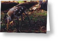 Juvenile White Ibis Greeting Card