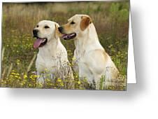 Labrador Retriever Dogs Greeting Card