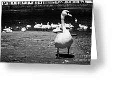 large swan on slipway protecting flock in galway bay Galway city county Galway Republic of Ireland Greeting Card