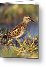 Least Sandpiper Greeting Card