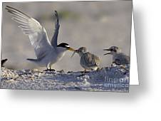 Least Tern Feeding It's Young Greeting Card