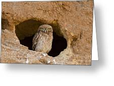 Little Owl Athene Noctua Greeting Card