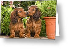Long-haired Dachshunds Greeting Card