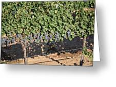 Lorimar Grapes Greeting Card