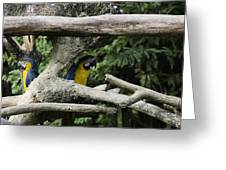 2 Macaws Framed By Tree Branches Inside The Jurong Bird Park Greeting Card