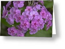 Magenta Phlox Greeting Card