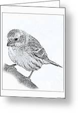 Male House Finch Sketch  Greeting Card