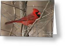 Male Northern Cardinal Greeting Card