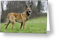 Malinois, Belgian Shepherd Dog Greeting Card