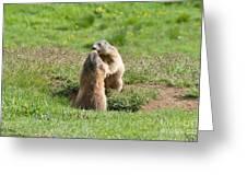 Marmots Greeting Card