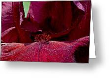 Maroon Iris 2 Greeting Card