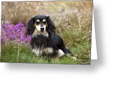 Miniature Long-haired Dachshund Greeting Card