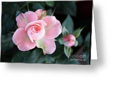 Miniature Pink Roses Greeting Card