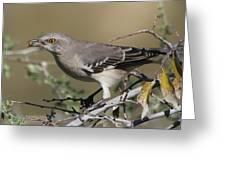 Mocking Bird With Ripe Hackberry Greeting Card